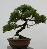 Bonsai Chinese Juniper, Juniperus chinensis, no. 5539