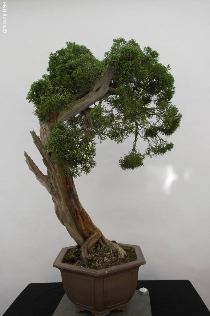 Bonsai Juniperus chinensis itoigawa, Jeneverbes, nr. 5165