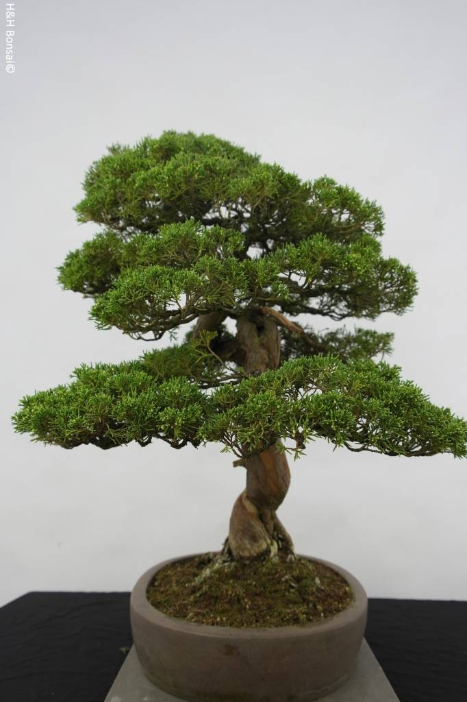 Bonsai Juniperus chinensis itoigawa, Jeneverbes, nr. 5122