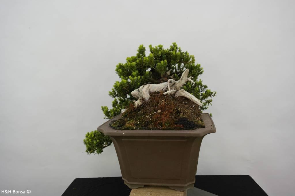 Bonsai Jap.Eibe, cascade, Taxus cuspidata, nr. 5175