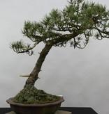 Bonsai Pinus thunbergii sp., Japanse zwarte den, nr. 6430