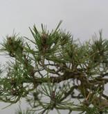 Bonsai Schwarzkiefer, Pinus thunbergii sp., nr. 6430