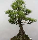 Bonsai Schwarzkiefer, Pinus thunbergii, nr. 6431