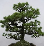 Bonsai Mädchenkiefer, Pinus pentaphylla sp., nr. 6433