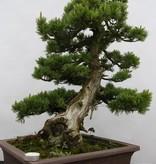 Bonsai Mädchenkiefer, Pinus pentaphylla, nr. 6434