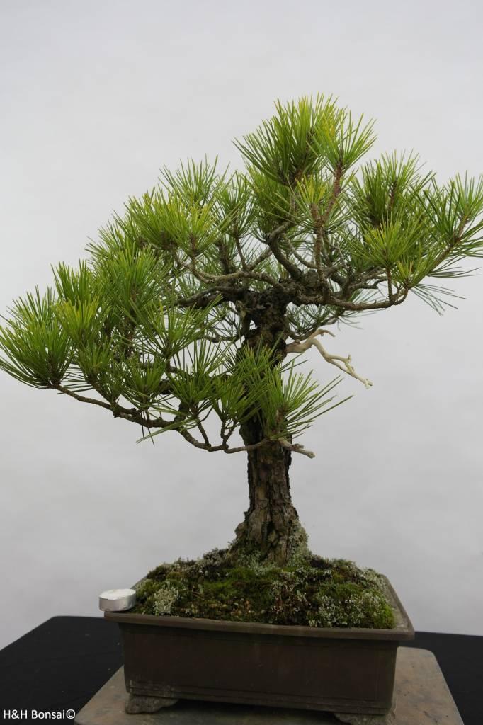 Bonsai Schwarzkiefer, Pinus thunbergii, nr. 6435