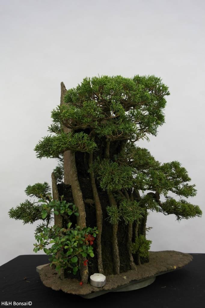 Bonsai Chinese Juniper, Juniperus chinensis, no. 6437