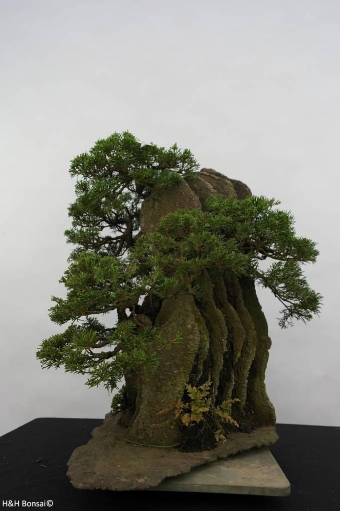 Bonsai Chin. Wacholder, Juniperus chinensis, nr. 6437