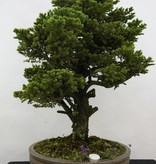 Bonsai Spruce, Picea sp., no. 6438