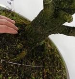 Bonsai Spruce, Picea sp., no. 6438