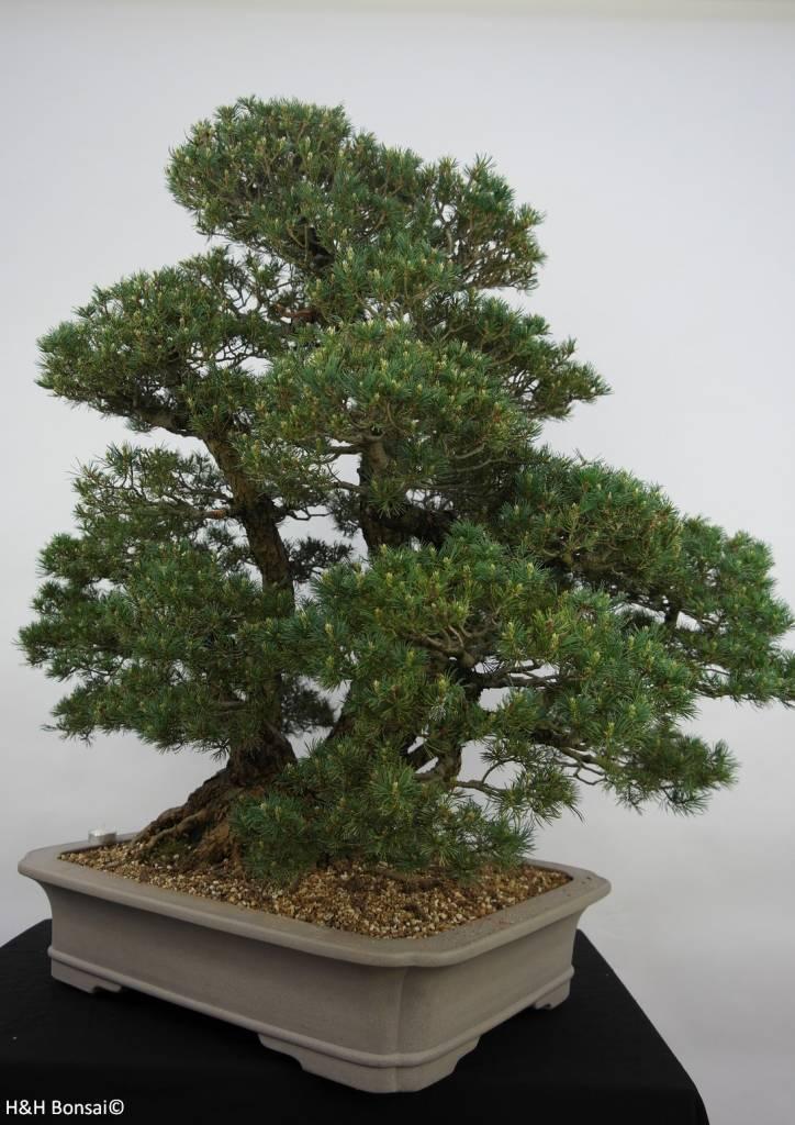 Bonsai Pinus parviflora kokonoe, Japanse witte den, nr. 6452