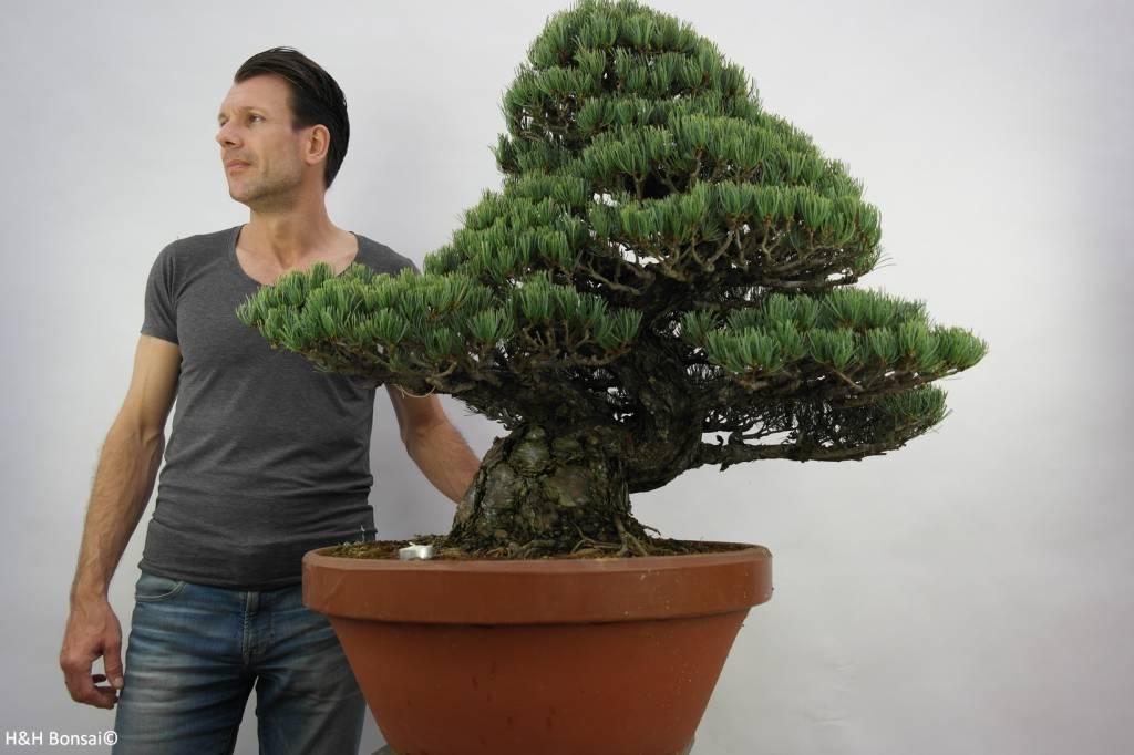 Bonsai Pinus pentaphylla, Japanse witte den, nr. 6453