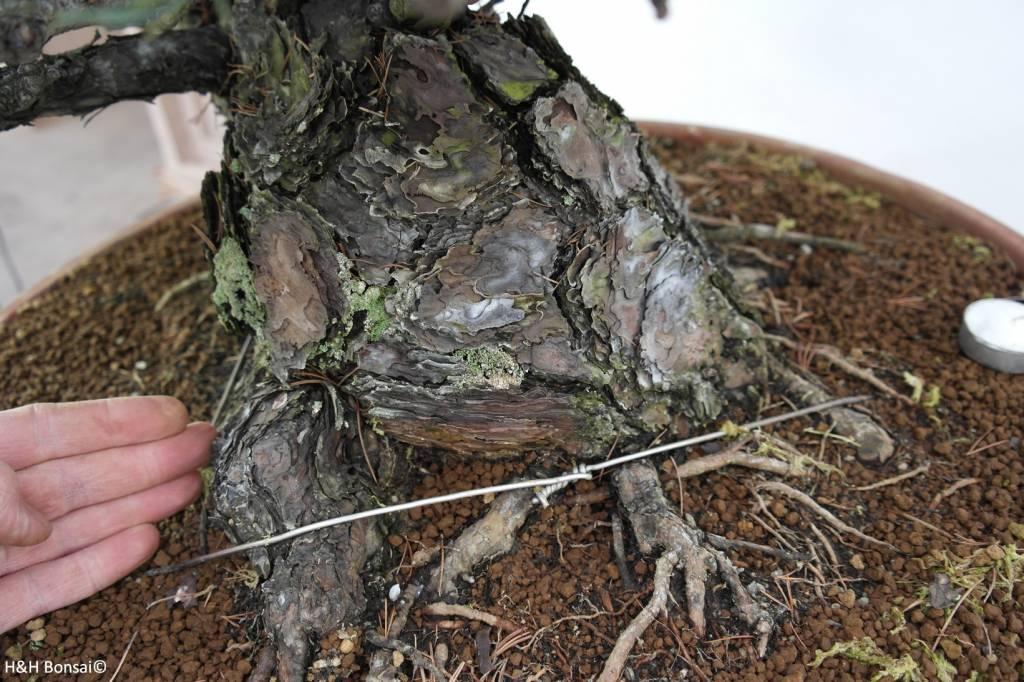 Bonsai Japanese White Pine, Pinus pentaphylla, no. 6453
