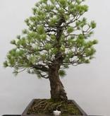Bonsai Mädchenkiefer, Pinus pentaphylla, nr. 6458