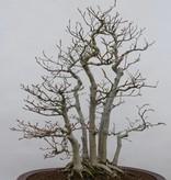 Bonsai Kerbbuche, Fagus crenata, nr. 6459