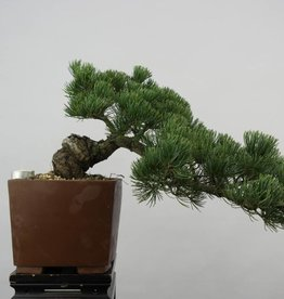 Bonsai Pinus pentaphylla, nr. 6475