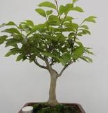 Bonsai Fagus crenata, Japanse beuk, nr. 6445