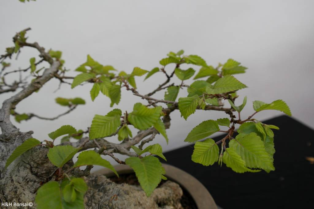 Bonsai Carpinus coreana, Koreaanse Haagbeuk, nr. 5891