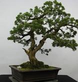 Bonsai Chin. Wacholder, Juniperus chinensis, nr. 6479