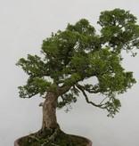 Bonsai Chin. Wacholder, Juniperus chinensis, nr. 6483