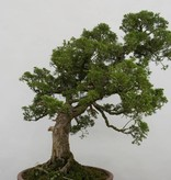Bonsai Juniperus chinensis, Jeneverbes, nr. 6483
