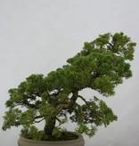 Bonsai Chin. Wacholder, Juniperus chinensis, nr. 6487