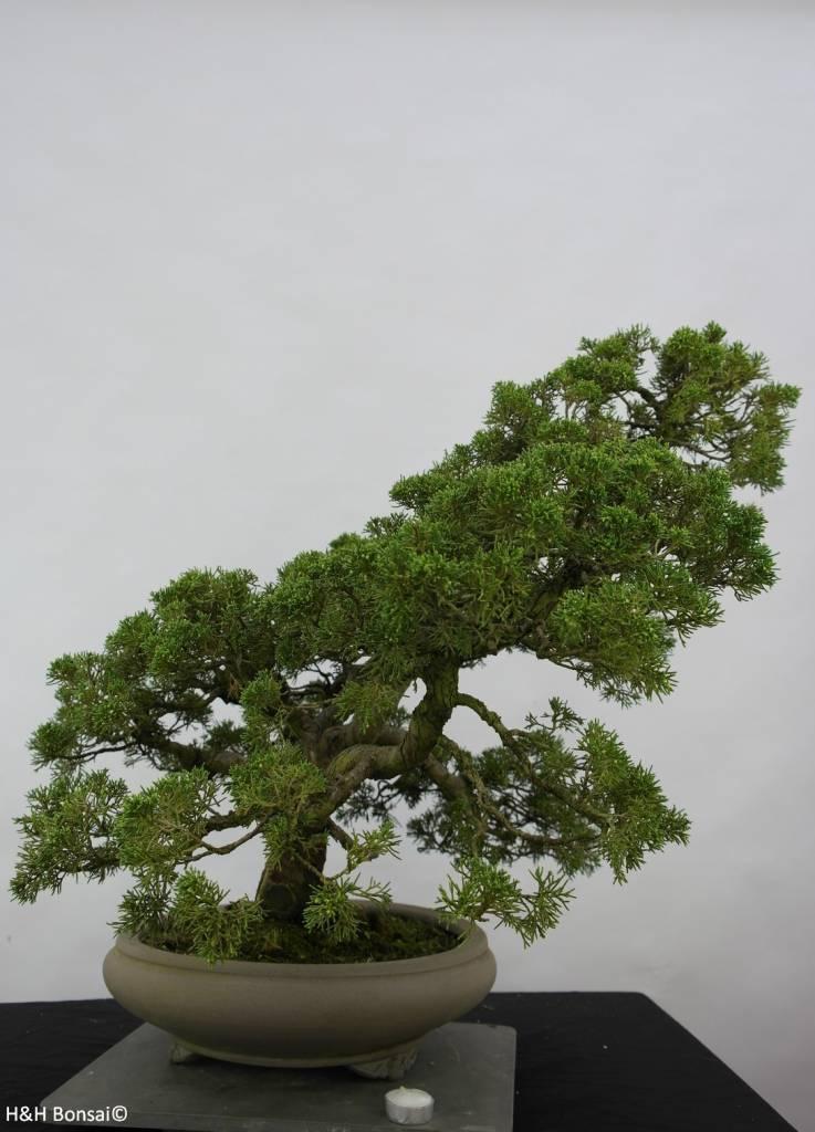 Bonsai Juniperus chinensis, Jeneverbes, nr. 6487