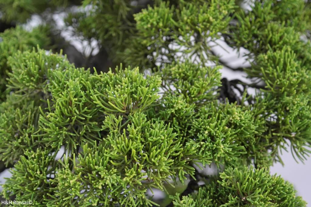 Bonsai Juniperus chinensis, Jeneverbes, nr. 6489
