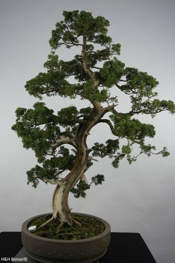 bonsai chin wacholder juniperus chinensis nr 6492. Black Bedroom Furniture Sets. Home Design Ideas