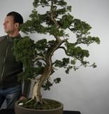 Bonsai Chin. Wacholder, Juniperus chinensis, nr. 6492