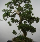 Bonsai Juniperus chinensis, Jeneverbes, nr. 6492