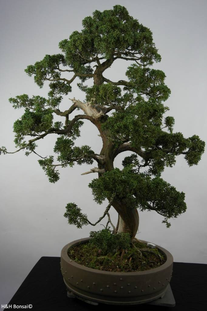 Bonsai Chin. Wacholder, Juniperus chinensis, nr. 6492