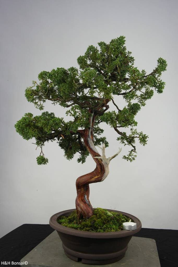 Bonsai Chin. Wacholder, Juniperus chinensis, nr. 6493