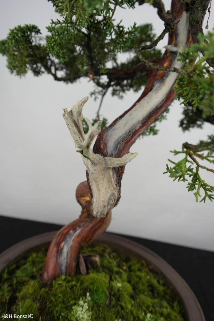 Bonsai Juniperus chinensis, Jeneverbes, nr. 6493