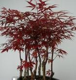Bonsai Jap. Fächerahorn, Acer Palmatum atropurpureum, nr. 6238
