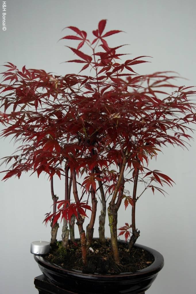 Bonsai Japanese maple, Acer Palmatum atropurpureum, no. 6238