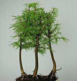 Bonsai Pseudolarix amabilis, Japanse goudlarix, nr. 6359