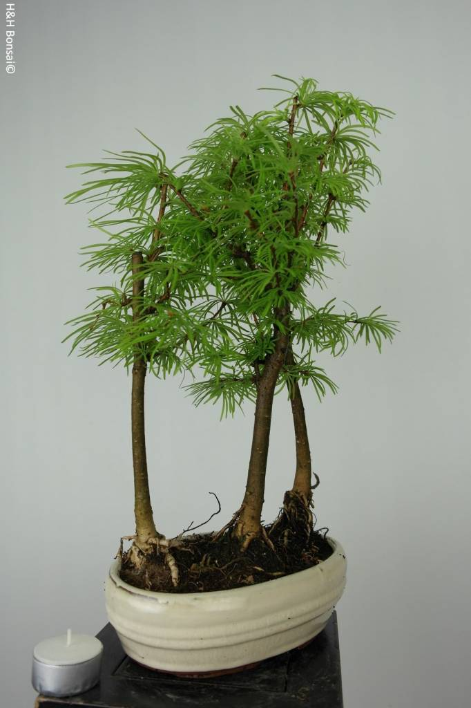 Bonsai Goldlärche, Pseudolarix amablis, nr. 6359