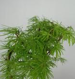 Bonsai Golden larch, Pseudolarix amabilis, no. 6359