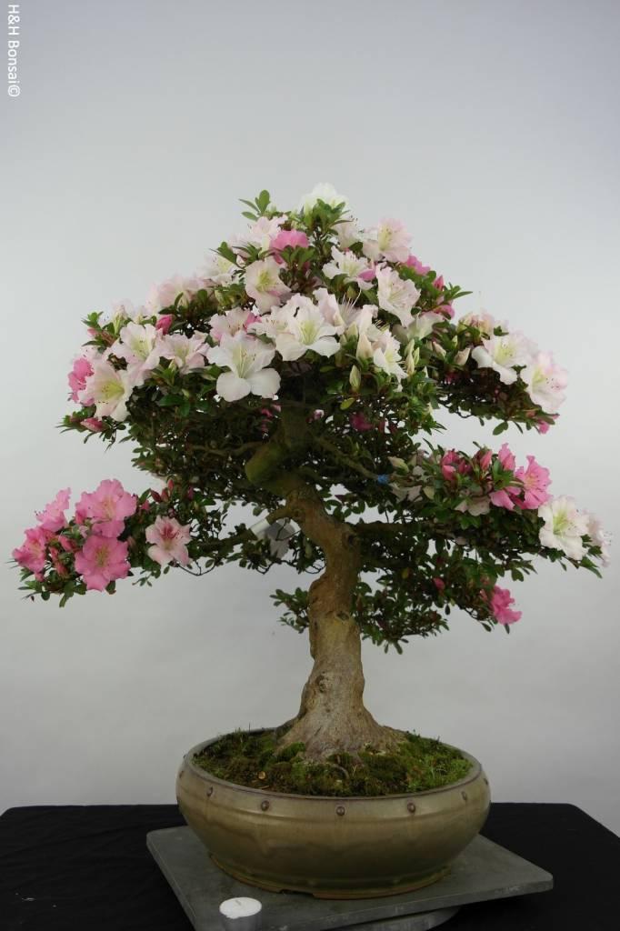 Bonsai Azalea Satsuki Kaho, nr. 5874