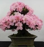 Bonsai Azalea Satsuki, nr. 5291