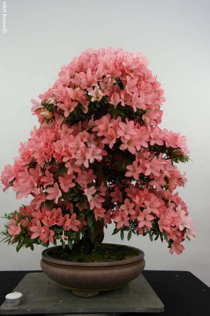 Bonsai Azalee Satsuki, Azalea Satsuki Akane, nr. 5187