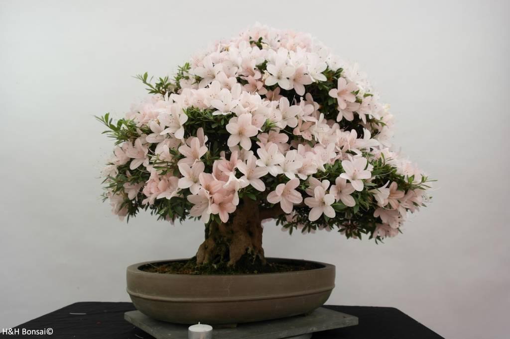 Bonsai Azalea Satsuki Kozan, nr. 5294