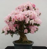 Bonsai Azalea Satsuki Gyoten, nr. 5710