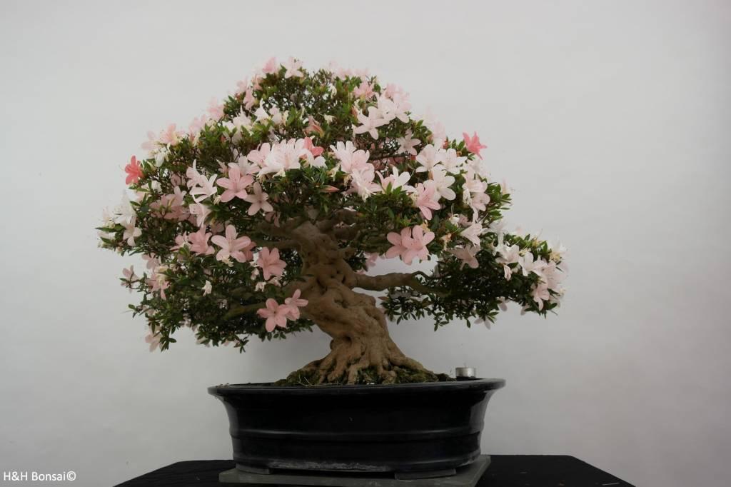 Bonsai Azalea Satsuki, nr. 5877