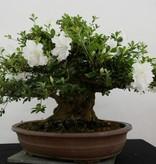 Bonsai Azalea Satsuki Eikan, no. 5879