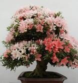 Bonsai Azalea Satsuki, nr. 5679