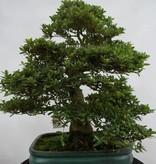 Bonsai Azalea SatsukiJuko no Homare, nr. 5688
