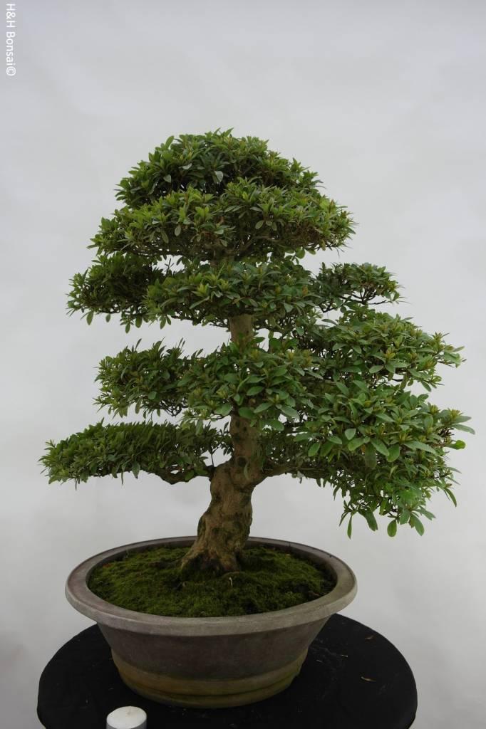 Bonsai Azalee Satsuki, Azalea SatsukiSaiko, nr. 5695