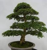 Bonsai Azalea SatsukiSaiko, nr. 5695